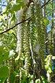 Aspen (Populus tremula) wind-pollinated catkins pollination shedding pollen tiny seeds embedded in downy fluff in spring (pappus) (osp rakler frøspredning med vind fra hunnrakler om våren) Tjøme, Norway 2019-05-16 DSC02239.jpg