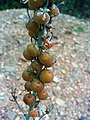 Asphodelus cerasiferus fruits Closeup 2009April26 SierraMadrona.jpg