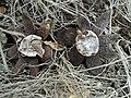 Astraeus hygrometricus 12930808.jpg