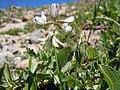 Astragalus alpinus (6120969542).jpg