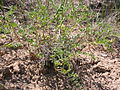 Astragalus lentiginosus salinus (3848564313).jpg