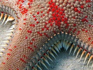 Astropecten aranciacus - Detail of paxillae with the top red-orange or grey-beige
