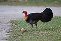 Australian Brush-turkey (Alectura lathami), Queesland, Australia.jpg