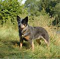 Australian Cattle Dog Chessie.jpg