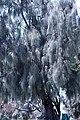Australian pine tree IMG 2893.jpg