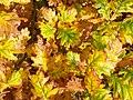 Autumn English Oak (Quercus robur) leaves (26092351292).jpg