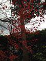 Autumn Leaves in Ryoanji Temple 5.jpg