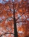 Autumn colour, Streatham Campus - geograph.org.uk - 1039429.jpg