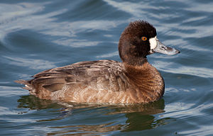 Lesser scaup - Adult male
