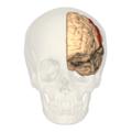 BA312 - Primary Somatosensory Cortex - anterior view.png