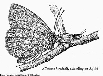 Allotinus horsfieldi - Illustration from Fauna of British India - Butterflies