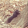 BLACK GRAY SQUIRREL 2- Sciurus carolinensis, the eastern gray squirrel (but this one is black), Central Park NYC.jpeg