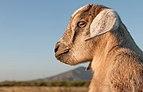 Baby Goat in Margarita Island, Venezuela.jpg