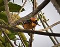 Baltimore Oriole Icterus galbula - Flickr - gailhampshire (1).jpg