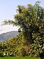 Bambus blumean 160603-59129 ponr.JPG
