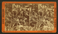 Banana grove, Ocala, from Robert N. Dennis collection of stereoscopic views.png