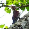 Banded Woodpecker (46009709771).jpg