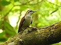 Banded bay cuckoo (ചെങ്കുയിൽ ) - 11.jpg