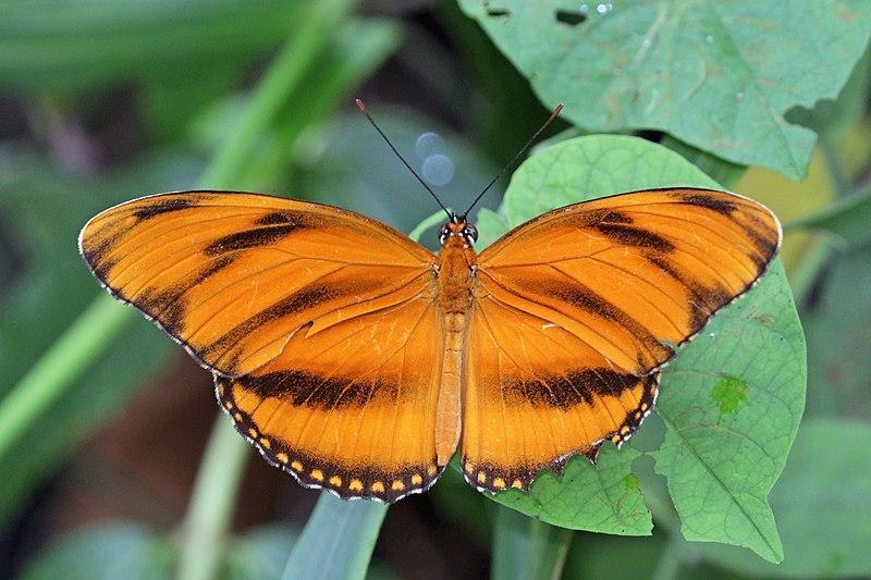 Bộ sưu tập cánh vẩy 4 - Page 46 800px-Banded_orange_heliconian_%28Dryadula_phaetusa%29_male