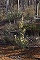 Banksia acanthopoda gnangarra 06.JPG