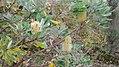 Banksia integrifolia L.f. (AM AK339471-5).jpg