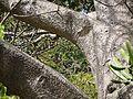 Baobab (4591330129).jpg