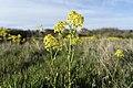 Barbarea vulgaris (Latin) Vinterkarse (Norwegian) Winter-cress Hedge mustard (English) Oslofjorden Hvasser Færder Norway 2020-05-08 7271.jpg
