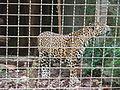 Barcelona-Zoo-Jaguar (Panthera onca) (I).jpg