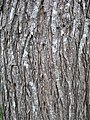 Bark of the Japanese Elm Ulmus davidiana var. japonica.jpg