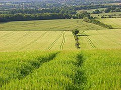Barley, Wanborough - geograph.org.uk - 858249.jpg