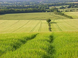 Wanborough, Surrey - Image: Barley, Wanborough geograph.org.uk 858249