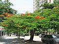 Barranquilla - Acacia.jpg