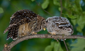 English: Barred owl mother and chick, just aft...