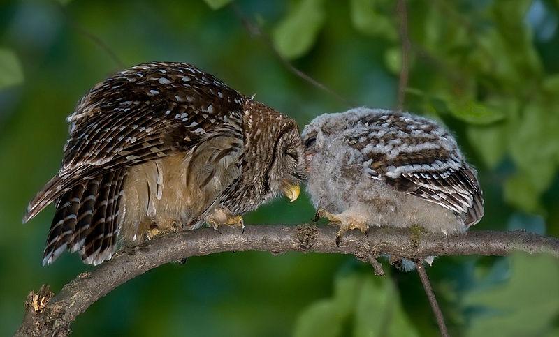 File:Barred-owl-chick-58.jpg