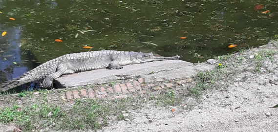 Basking Gharial in this steaming sun.png