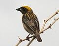 Baya Weaver (Ploceus philippinus)- Male W IMG 0694.jpg