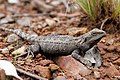 Bearded dragon03.jpg