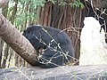 Bears at Bannerghatta National Park 4-24-2011 12-10-07 PM.JPG