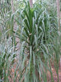 Beaucarnea pliabilis4.jpg