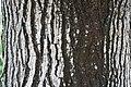 Beaucarnea recurvata 20zz.jpg