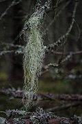 Beautiful lichen in the old woods of Ryfors Sweden.jpg