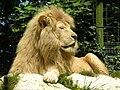 Beauval lion 1.jpg