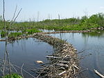 Beaver dams, Whitefish Channel.JPG