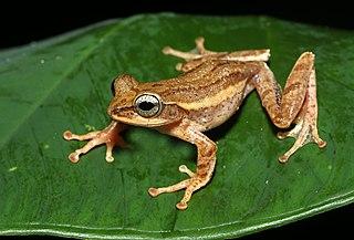 <i>Beddomixalus</i> Genus of amphibians