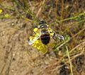 Bee-unknown-mustard.jpg