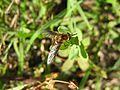 Bee fly on grass (5359517233).jpg