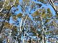 Beech forest at Mt.Yokoyamadake02.jpg