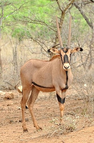 East African oryx - Fringe-eared oryx (O. b. callotis) in Tsavo West National Park