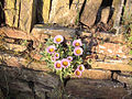 Bellis Flower in Dry Stone Wall - geograph.org.uk - 19381.jpg