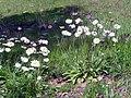 Bellis sylvestris habitat 2010-4-02 SierraMadrona.jpg